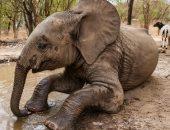 قصة فيلة ضلت القطيع وتركت والدتها.. والحمض النووى الأمل الوحيد فى لم شملهما