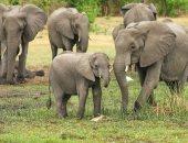 اليوم العالمي للفيل.. الفيلة تتمتع بحاسة الشم أقوى من الكلاب