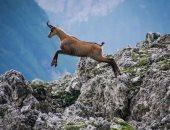 شقاوة وخفة ودلع.. مغامرات حيوانات جبال الألب..ألبوم صور