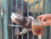 """شاهد تناول القرود الآيس كريم بحديقة حيوانات الجيزة.. وشرب الشاى """"مزاجها"""""""