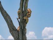 صور طريفة لأسد يتسلق شجرة هروبًا من قطيع الجاموس