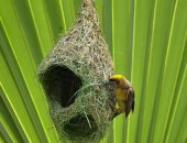 هندسة النسيج فى مملكة الطيور.. إبداع طائر الحباك عصفور بدرجة مهندس