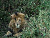"""رحل بهدوء.. نفوق """"سكار فيس"""" أشهر أسد فى كينيا لأسباب طبيعية.. اعرف قصته """"صور"""""""