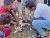 """انطلاق أول حملة لتطعيم كلاب الشوارع بأسوان للقضاء على """"السعار"""".. صور"""