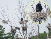 دب 75 رطل يتسلق شجرة بطول 5 طوابق للجلوس على عش طائر .. صور