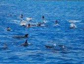 مشهد لم تراه من قبل.. 10 صور لأسراب الدلافين فى مرسى علم
