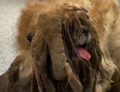 كلب تائه فى الغابات منذ سنوات يتحول إلى نجم سوشيال ميديا بسبب شعره الكثيف.. صور