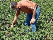 زراعة كفر الشيخ: بدء حملة نقاوة الغريبة بقطن الإكثار بـ3 مراكز لإنتاج التقاوى