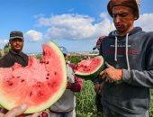 الخير على أرض فلسطين.. موسم حصاد البطيخ فى غزة.. ألبوم صور