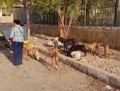 """""""بالتعقيم مش بالتسميم"""".. أول حملة لتطعيم كلاب الشوارع ضد السعار فى أسوان.. لايف"""