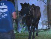 شاهد.. هروب قطيع من الأبقار من مسلخ فى لوس أنجلوس