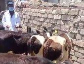 بدء الحملة القومية لتحصين الماشية ضد الحمى القلاعية بكفر الشيخ .. لايف وصور