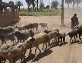 حكايات راعى الغنم بأسوان.. خالد: أتجول تحت أشعة شمس الصيف وأواجه الذئاب.. فيديو