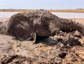 """بدا حزينا ومرهقا.. إنقاذ فيل من الغرق فى الوحل بحافة أحد سدود كينيا """"صور"""""""