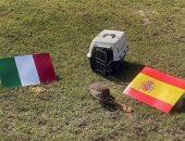 """يورو 2020 .. طائر الحجل الأحمر """"تاكو"""" يتوقع تأهل إسبانيا إلى النهائي"""