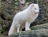 مكار الجبال.. الثعلب القطبي يتلون باختلاف الصيف والشتاء