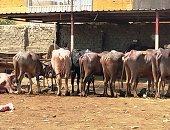 معهد التناسليات الحيوانية يصدر نشرة لتوعية المربين بتأثير الإجهاد الحرارى على الماشية