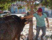 تحصين 135 ألف رأس ماشية بكفر الشيخ من الحمى القلاعية والوادى المتصدع.. صور
