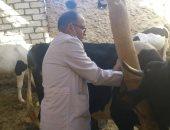 تحصين 6609 رأس ماشية وأغنام ضد مرض الحمى القلاعية بمطروح