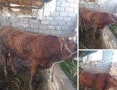 """بدء خطة السيطرة على """"الجلد العقدى"""".. بيطريون يكشفون: نسب الإصابة تصل إلى 55% من الأبقار والشفاء منه صعب.. ولأول مرة تحصين الحيوانات بلقاح لنفس """"العترة"""" المسببة للمرض فى مصر واختبار نتائجه خلال 9 أشهر.. صور"""