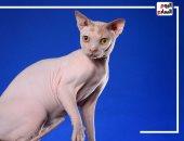 """""""القط الفرعوني"""" أغلى قط في العالم سعره يصل لـ40000 ألف جنيه"""