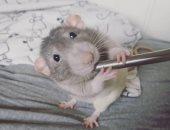 حيوان بدرجة فنان.. مزاد أونلاين للوحات فنية بريشة فئران أليفة.. صور