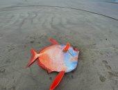 وزنها 45 كيلوجرام.. العثور على سمكة عملاقة نادرة بأحد شواطئ أمريكا.. صور