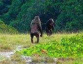 شمبانزى يقتل غوريلا ويأكلها لأول مرة بدون سبب بحديقة حيوانات فى الجابون