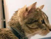 متطوعة أمريكية لإنقاذ الحيوانات تتبنى قط نادر بأربعة أذان .. شاهد الصور