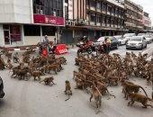 مشهد مذهل لخناقة قرود على الطعام فى شوارع تايلاند.. فيديو وصور