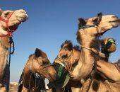 """سلالات نادرة.. أكبر سباق للهجن فى مصر على بعد 20 كيلو من أبراج العلمين """"فيديو"""""""