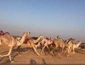 انطلاق فعاليات أول سباق للهجن فى الموسم الجديد بشرم الشيخ اليوم