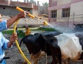 علاج ورش 94 ألفا و545 رأس ماشية ضمن جهود الطب البيطرى بالبحيرة