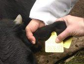 ترقيم وتسجيل 10362 رأس ماشية واستخراج 26024 بطاقه تسجيل حيوان بالبحيرة