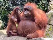 مشهد طريف لقرد يرتدى نظارة شمسية في حديقة حيوانات بإندونيسيا .. صور