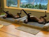 اضحك كركر.. كلاب لكن ظرفاء مواقف مضحكة للحيوانات الاليفة.. ألبوم صور