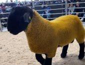 كبش ذهبي يحطم الرقم القياسي لأغلي خروف فى إيرلندا بعد بيعه بـ44 ألف يورو.. صور