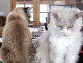 """""""سلكرك ركس"""".. قطط نادرة بعيون مميزة وصوف خروف نجوم على السوشيال ميديا """"صور"""""""