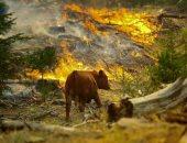 الحيوانات فى مرمى نيران الحرائق.. وهذا ما يفعله الصندوق العالمى للطبيعة