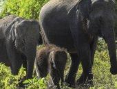 شاور ساعتين ونص و4 ساعات عمل يوميا..إجراءات فى سريلانكا لحماية الفيلة