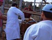 تحصين 175 ألف رأس ماشية ضد الحمى القلاعية والوادى المتصدع بالشرقية