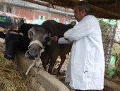 تحصين 89 ألف رأس ماشية للوقاية من الحمى القلاعية والوادى المتصدع ببنى سويف