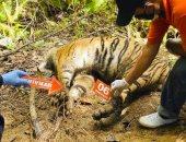 العثور على 3 نمور مهددة بالانقراض قُتلت بعد وقوعها فى أفخاخ صيد بأندونيسيا