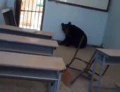 دب أسود يقتحم معهدًا زراعيًا جنوب إيران.. صور