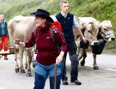 لإنتاج أفضل أنواع الجبن.. أبقار سويسرا تعود من جبال الألب للمراعى الطبيعية (ألبوم صور)