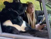 بتحس معاه بأمان..روسية تصطحب دبًا ضخمًا داخل السيارة خلال جولاتها السياحية