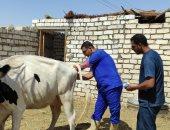 الزراعة: تلقيح اصطناعى للماشية بسيوة لأول مرة ضمن مساهمات مبادرة حياة كريمة