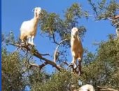 غرائب عالم الحيوان.. قطيع ماعز يقف مثل العصافير على أغصان شجرة.. فيديو وصور