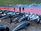 """ذبح 1400 من الدلافين في مهرجان """"جريندادراب""""  بالدنمارك .. فيديو"""