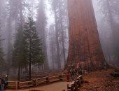 تغليف أكبر شجرة فى العالم بالألومنيوم الحرارى لحمايتها من حرائق كاليفورنيا.. صور